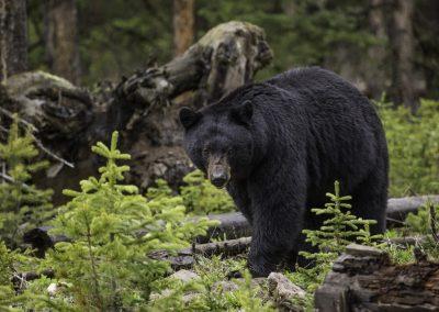 black-bear-1170229_1920