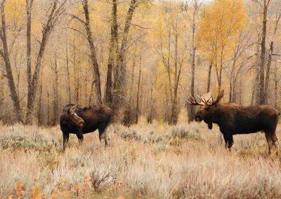 moose-2109044_1920