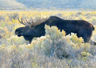 moose-931640_1920