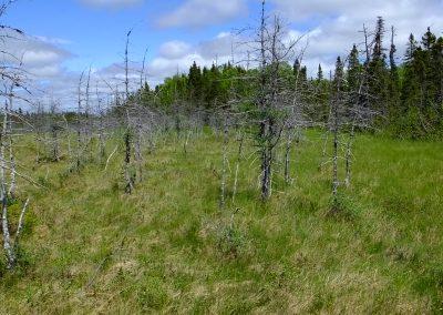 Newfoundland Forest