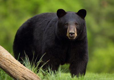 dave evans - Black Bear 01