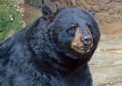 dave evans - Black_Bear 02
